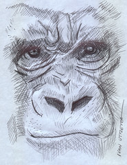 gorila a lapicero (ivanutrera) Tags: wild animal pen sketch gorilla drawing wildlife draw dibujo gorila lapicero dibujoalapicero dibujoenboligrafo
