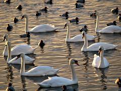 Whooper Swans and Pochard ducks 5571 (saxonfenken) Tags: many norfolk ducks several swans superhero welney 6895 challengeyou challengewinner friendlychallenges thechallengefactory pregamesweep agcgsweepwinner 6895birds