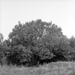 Tree (jannok) Tags: bw 6x6 zenzabronica zenzanon 400tmx 80mmf28ps