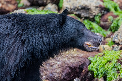 A mouth full of Crabs | Black Bear (anoopbrar) Tags: bear wild food black nature beautiful animal island bc outdoor britishcolumbia wildlife bears hunting tofino prey wilderness mammals clams blackbear brownbear