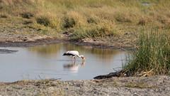 20151110_Shinde_0518.jpg (eLiL1860) Tags: bird birds botswana vögel vogel okavango yellowbilledstork nimmersatt tierwelt safari2015