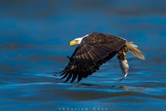 Cloaked (Khurram Khan...) Tags: winter ilovenature nikon baldeagle nikkor migration eagles raptors birdsofprey ilovewildlife khurramkhan