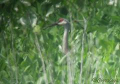 Grulla canadiense Sandhill Crane (Antigone canadensis) (Corriplaya) Tags: birds aves digiscoping sandhillcrane grullacanadiense corriplaya antigonecanadensis