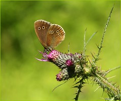 Ringlet nectaring on thistles (glostopcat) Tags: ringletbutterfly butterfly insect invertebrate glos thistles wildflower summer coopershillwood cotswoldcommonsbeechwoodsaonb naturalengland
