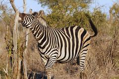 Smiles (crafty1tutu (Ann)) Tags: travel holiday southafrica africa 2016 animal zebra free wild inthewild roamingfree crafty1tutu canon7dmkii ef100400mmf4556lisiiusm anncameron naturethroughthelens anaturecanvas