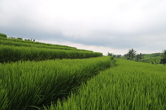 Rice Fields (C. Roose) Tags: bali rice fields