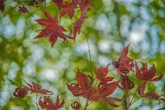 DSC_2054 (megumi.ram) Tags: nikon japan autumn redleaves red nature