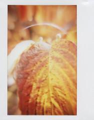 dogwood_leaf (Judy M. Boyle) Tags: polaroidweek fallpolaroidweek polaroidweek2016 fallpolaroidweek2016 lomoinstantwide closeuplens lomography leaves fall dogwood nature outdoors tree autumn orange red closeup dof shallowdepthoffield bokeh fujiinstaxwide fuji instax wide