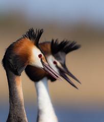 Love is in the air (Simonas Minkevičius) Tags: specanimal greatcrestedgrebe podicepscristatus lithuaniannature wildlife bird waterbird wetland ngc npc