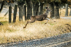 Black-tailed Buck jumping a ditch (Brown Acres Mark) Tags: blacktailed buck jackson county oregon jumping