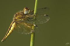 IMG_8596-2 (Jamil-Akhtar) Tags: canon6d tamron 200400 canon500d closeuplens nature macro insect dragonfly islamabad pakistan
