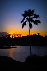 Lone Tree (rockysan) Tags: 52project2016 lightbox lonetree koolina hawaii