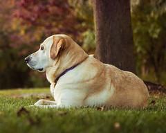 Casey in Autumn-8.jpg (elektratig) Tags: dog dogs labrador yellowlabrador stillwater sussexcounty newjersey