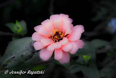 Dream Zinnia - Thank for about 1k. Follower (Bernsteindrache7) Tags: autumn sony alpha 100 color flora fauna flower bloom blossom blume garden park landscape outdoor