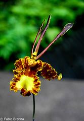 DSC_0017 (Fabio Brenna) Tags: flower flowers fiori fleurs flores colors orchid orchidea orchidee orchids orqudeas orchides