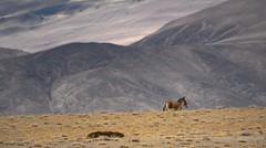 The Tibetan  Khyang or Gorkhar is the largest of the wild asses, India 2016 (reurinkjan) Tags: india 2016 janreurink himachalpradesh spiti kinaur ladakh kargil jammuandkashmir tibetanwildasskyang femalewildassmokyang adultwildasskyangdarma chigetai dziggetai himalayamountains sunrise himalayamtrange himalayas landscapepicture landscape landscapescenery mountainlandscape