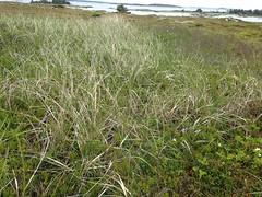 2015-06-28 11.26.27 (epiclundholmlab) Tags: botany heathland coastal dwarf heath barren novascotia ammophila empetrum
