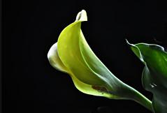 _DSC0003 Calla Lily (tsuping.liu) Tags: outdoor blackbackground bright blooming plant photoborder perspective petal pattern passion photoboder flower nature natureselegantshots naturesfinest lighting