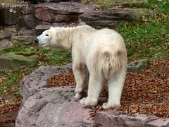 Vera - Charlotte - Eisbren - Tiergarten Nrnberg (ElaNuernberg) Tags: eisbrvera eisbrcharlottealiaslottchen tiergartennrnberg nurembergzoo zoo zootiere zooanimals eisbr polarbear orsopolare ourspolaire ijsbeer jkaru ursusmaritimus niedwiedpolarny