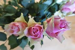 DSC_5971 (TonDeg) Tags: bloem flower roos roze wit