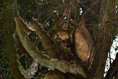 In the shade (supersky77) Tags: leone lion pantheraleo queenelizabethnationalpark uganda africa euphorbia savana safari