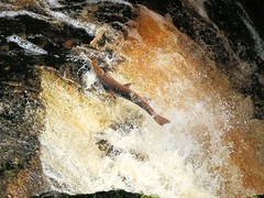 Atlantic Salmon's failed leap, Stainforth Force (robin denton) Tags: salmon salmonleap stainforthforce waterfalls stainforth yorkshiredales nationalpark northyorkshire atlanticsalmon nature wildlife fish riverribble river waterscape rnbribble