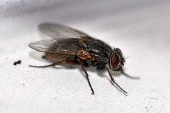 Husfluga / False Stable Fly (Muscina stabulans) hona (Martin1446) Tags: flugpr flies insect insekt nature natur nikon d90 macro makro husfluga false stable fly muscina stabulans hona