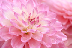 Daydreams in Pink (preze) Tags: dahlie dahlia rosa pink blume flower pflanze plant blossom blüte flora petals love liebe wassertropfen drops fresh frisch waterdrops romantic romantisch blütenblätter blumen blütenblatt canoneosm3 efs18135 schärfentiefe outdoor