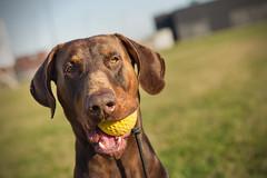 607A5493 (Bianca Schouten) Tags: doberman dobermann bono dog