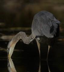 Great Blue Heron (Jeannine St. Amour) Tags: heron bird greatblueheron nature wildlife