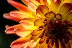 You Light Up My Life (PhilR1000) Tags: dahlia backlit macromondays macrodreams