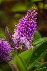 Flower 952 (_Rjc9666_) Tags: algarve colors flor flowers flowersplants nature nikkor55200mm nikond5100 portugal castromarim farodistrict pt ruijorge9666 1578 952