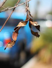 Hanging on ... (MomOfJasAndTam) Tags: tree leaf curvy curve dry sandiego plant depthoffield dof swinging hang hanging twist twisted branch