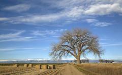 the big tree pasture (eDDie_TK) Tags: colorado co weldcountyco weldcounty weld frontrangeco frontrange coloradoseasternplains plainscottonwood cottonwood trees