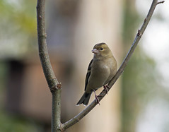 Pinson des arbres, Madame (JFB31) Tags: pinsondesarbres fringillacoelebs commonchaffinch passriformes fringillids