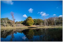 Weerspiegeling AWD (voorhammr) Tags: 2016 annevandermeyden amsterdamsewaterleidingduinen blauwelucht herfst herfstkleuren herten spinnenweb zwanen