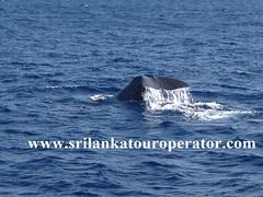 whale watching srilanka (www.srilankatouroperator.com) Tags: whalewatching srilanka tours operators w whalewatchingsrilanka srilankatouroperators