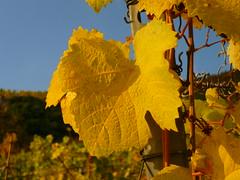 Goldenes Weinblatt (Jörg Paul Kaspari) Tags: kletterweg erdener treppchen mittelmosel mosel herbst autumn fall erden ürzig weinblatt leaf blatt vitis vinifera golden gelb gelbes yellow autumncolor traubenblatt