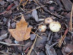 UNDER THE AUTUMN TREES..... (Daisy.Sue) Tags: autumn2016 groundmulch hardwood smallmushrooms mapleleaf whitepineneedles onground undertrees putnamcounty carmelny