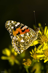 Vanessa cardui (am_boere) Tags: vlinders butterfly distelvlinder vanessacardui nature flowers flower