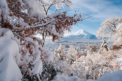 Snow on Maple Trees (Yuga Kurita) Tags: fuji fujisan fujiyama mount mt japan landscape snowscape winter snow maple trees autumn fujiyoshida blue sky