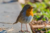 Robin (Rom4rio Photography) Tags: nikkor nikon nature outdoor colorful bird sparrow interesting orange amateur amazing beautiful lonely d3100 awesome atmosphere robin pettirosso