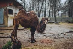 Dinner | Kaunas Zoo #322/365 (A. Aleksandraviius) Tags: dinner kaunas zoo 2016 animal lietuva camel autumn lithuania nikon nikkor 50mm 50 365 365days 3652016 d810 nikond810 50mmf14g nikkor50mm nikon50mm14g f14g nikon50mm project365 322365