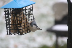 White-breasted Nuthatch (Saline, Michigan) (cseeman) Tags: feeders suet birds saline michigan nuthatch whitebreastednuthatch salinebirds11202016