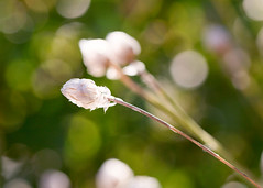 Three (mclcbooks) Tags: flower flowers floral macro closeup bud buds bokeh denverbotanicgardens colorado