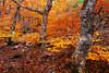Hayedo de la Pedrosa (DavidFrutos) Tags: davidfrutos segovia hayedo beech canondslr 5dmarkii canon1740mm bwcpl polarizador polarizer filtro filter filtros longexposure largaexposición le nature naturaleza autumn otoño bosque trees árboles árbol tree landscape color colorful fineart