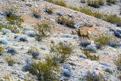047-VOF160131_46412 (LDELD) Tags: nevada desert rugged dry harsh wild valleyoffire bighornsheep animal wildlife rocky
