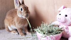 Ichigo san 479 (mensore) Tags:  rabbit bunny netherlanddwarf brown