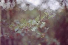 Before the leaves are falling down... (Balthasar Phragmites) Tags: fall autumn dof bokeh leaves galagony colourfilm 35mmfilm filmcamera buyfilmnotmegapixels istillshootonfilm agfaprecisa agfa praktica vlc3 takumar 50mm f14 filmgrain expired grain 35mmanalog analogphotography analogcamera analogue