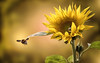 Summ, summ, summ (ellen-ow) Tags: biene blumen insekten makro sonnenblume tiere sunflower bee animal herbst heiter nikond5 ellenow